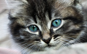 Обои котенок, фон, обои, пушистый