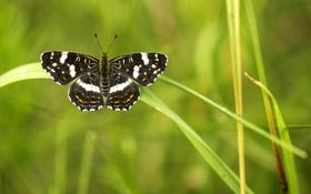 Картинка зелень, лето, макро, фон, обои, бабочка, черный