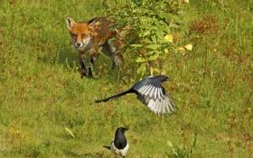 Обои птицы, куст, лиса, охота, сороки, в засаде