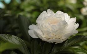 Обои листья, белый пион, куст, цветок