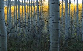 Обои осень, лес, листья, ствол, роща, осина
