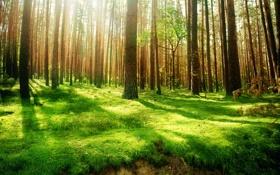 Обои лес, деревья, природа, старинный, высоченные, Beautiful wood