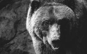 Картинка взгляд, морда, фон, медведь