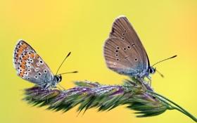 Обои трава, капли, бабочки, роса, две, растение, колосок