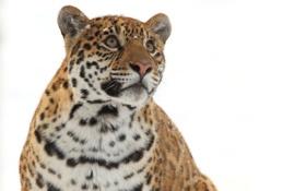 Картинка дикая кошка, морда, ягуар, зима, взгляд вверх, хищник