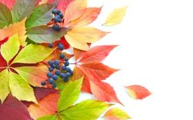 Обои листья, осень, ягоды