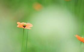 Обои зелень, цветок, лето, оранжевый, зеленый, поляна, цвет