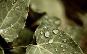 Картинка зелень, листья, капли, макро, природа, фото, фон