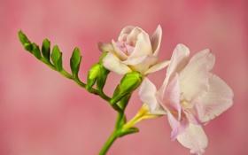 Обои цветок, ветка, лепестки, фрезия, розовый фон