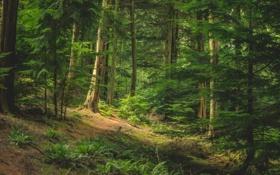 Обои лес, деревья, зеленые