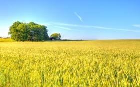 Обои пшеница, поле, небо, облака, деревья, тень, ферма