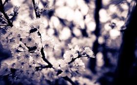 Картинка фиолетовый, небо, цветы, природа, вишня, блики, сиреневый