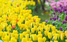 Обои цветы, весна, тюльпаны, бутоны, tulips