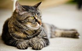 Обои кот, Cat, лежит, взгляд, кошка