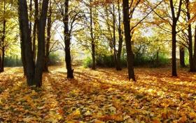 Картинка осень, лес, листья, лучи, свет, деревья, природа
