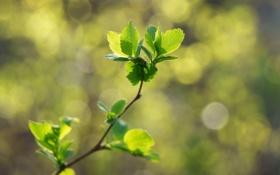 Обои листья, весна, зеленые, блики, природа, веточка, макро