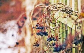Картинка зима, настроение, забор, ягодки фиолетовые, макро