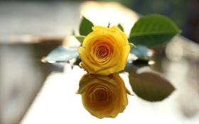Обои роза, цветок, отражение, лепестки, желтая