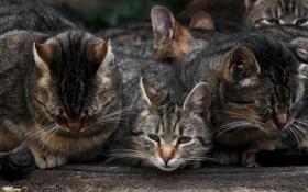 Картинка много, несколько, кошек