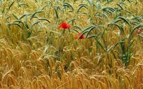 Картинка поле, цветы, мак, колосья