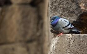 Обои стена, птица, голубь