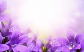 Обои колокольчики, цветы, flowers, bells