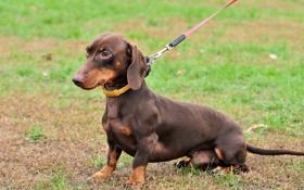 Обои трава, собака, такса, поводок, пёс