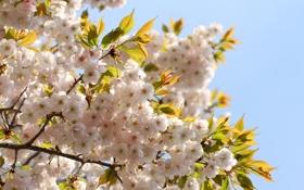 Картинка небо, листья, цветы, ветки, вишня, весна, лепестки