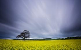 Обои поле, небо, пейзаж, дерево, рапс