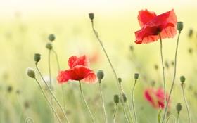 Картинка лето, маки, красные, поле, семена, цветы