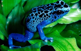 Картинка экзотика, голубая, жаба, frog, blue, лист, лягушка