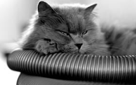 Картинка кот, серый, лежит, смотрит