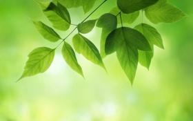 Обои зелень, лето, листья, ветка