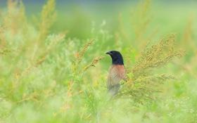 Обои трава, птица, малая, кукушка, шпорцевая