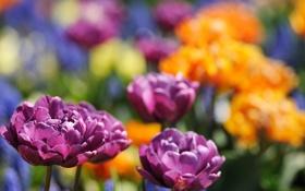 Обои цветы, желтые, тюльпаны, сиреневые, махровые