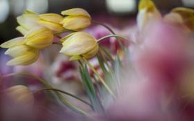 Картинка поле, фокус, весна, желтые, тюльпаны, много