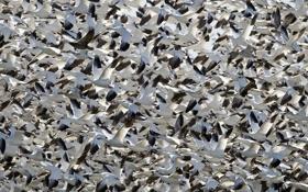Картинка птицы, стая, перелёт, белые гуси