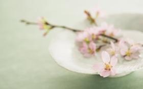 Обои розовый, цветок, сакура, лепестки, веточка, тарелка