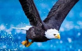 Обои орел, птица, когтт, крылья, полет, вода, Животные