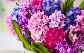 Картинка цветы, букет, flowers, bouquet, гиацинты, hyacinths