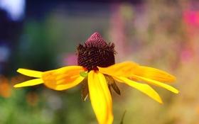 Обои цветок, лето, солнце, flower, Рудбекия