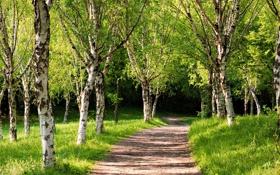Обои дорожка, через лес, лето, зелень, свежесть, аллея, берёзовый