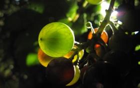 Обои Виноград, гроздь, солнце