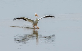 Обои клюв, птица, крылья, вода, посадка, пеликан