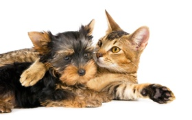 Обои кошка, кот, собака, лежат, терьер