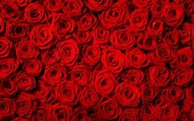 Обои цветы, розы, красные розы