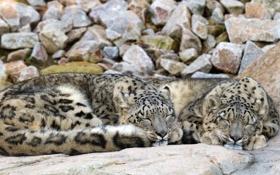 Обои кошки, камни, отдых, сон, пара, ирбис, снежный барс