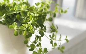 Картинка зелень, цветок, листья, свет, растение, горшок, подоконник