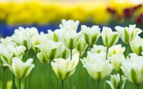 Обои тюльпаны, бутоны, белые тюльпаны