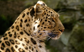 Картинка пятна, дикая кошка, профиль, морда, хищник, мех, леопард